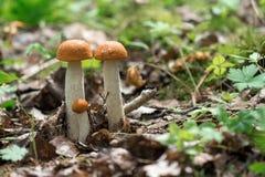 Fungos comestíveis que cresce na madeira Madeira do outono COLHEITA DOS COGUMELOS agari vermelho bonito da mosca de m Agaric de m Fotos de Stock