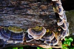 Fungos da árvore em um log Foto de Stock Royalty Free