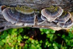 Fungos da árvore em um log Foto de Stock