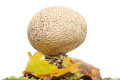 Fungos da esfera do sopro imagens de stock royalty free