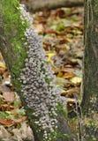 Fungos das capotas de Faries Foto de Stock Royalty Free