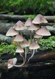 Fungos de Mycena do sangramento Fotos de Stock Royalty Free
