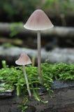 Fungos de Mycena do sangramento Fotografia de Stock Royalty Free