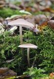 Fungos de Mycena no registro Imagens de Stock Royalty Free