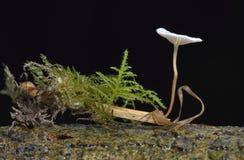 Fungos do paraquedas Foto de Stock