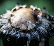 Fungos do tampão da tinta que rotting afastado Foto de Stock