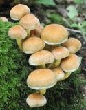 Fungos do topete do enxôfre Fotos de Stock Royalty Free