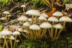 Fungos do topete do enxofre do fasciculare de Hypholoma Imagem de Stock Royalty Free