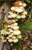 Fungos do topete do enxofre do fasciculare de Hypholoma Imagens de Stock Royalty Free