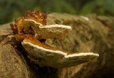 Fungos em um registro Foto de Stock Royalty Free