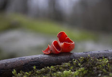Fungos - escarlate de copo de duende Imagem de Stock