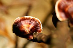 Fungos gigantes Imagem de Stock Royalty Free