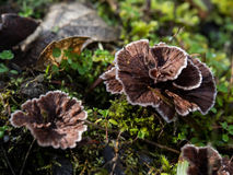 Fungos selvagens delicados Imagem de Stock