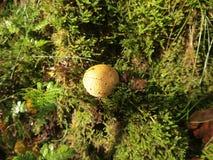 Fungoso (parque nacional de Hoge Veluwe, os Países Baixos) Foto de Stock