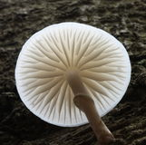 Fungus. Portrait of Porcellain fungus taken from low angle Stock Images