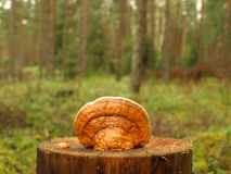 Fungus. On the stump like sea shell Royalty Free Stock Images