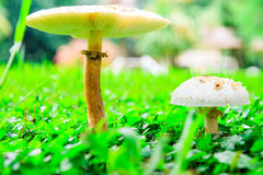 Fungus Royalty Free Stock Photography