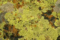 Fungus. Yellow and bright green colour fungus as background Royalty Free Stock Images