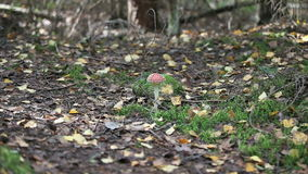 Fungus agaric. Dangerous poisonous agaric fungus, zoom in stock video footage