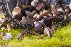 Fungus Royalty Free Stock Image