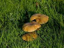 Fungus in early sun and dew Stock Image