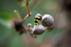 Fungus-eating ladybird Stock Photo