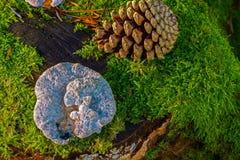 Fungus, Edible Mushroom, Medicinal Mushroom, Tree Royalty Free Stock Photo