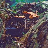 Fungus on fallen tree trunk. Fungus growing in rotting wood of a fallen tree trunk royalty free stock photography