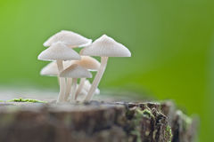 Fungus filoboletus sp. Stock Photo