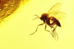 Fungus gnat. (mycetophilidae) imprisoned in baltic amber Royalty Free Stock Photography