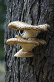 Fungus growing on tree. A fungus growing on tree bark Stock Photos