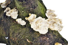 Fungus growing on a tree Royalty Free Stock Photo
