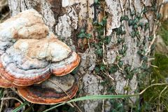 Fungus growing on a tree in the wood royalty free stock image