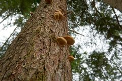 Fungus growing on a tree in the wood royalty free stock images