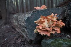 Fungus on a log royalty free stock image