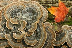 Fungus and Maple Leaf on a Log Stock Photography