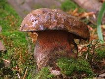 Fungus mushroom Stock Photos