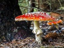 Fungus, Mushroom, Agaric, Bolete Stock Image