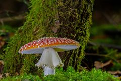 Fungus, Mushroom, Agaric, Penny Bun