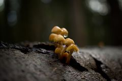 Fungus, Mushroom, Edible Mushroom, Medicinal Mushroom stock images