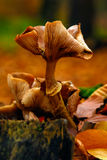 Fungus mushroom orange brown growing on rotten wood stomp. Fungus mushroom orange brown growing on rotten wood Royalty Free Stock Image
