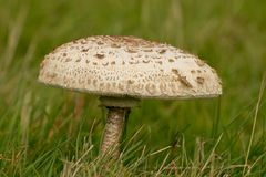 Fungus Mushroom or toadstool. A very large mushroom growing in the grass Royalty Free Stock Photos