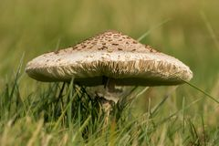 Fungus Mushroom or toadstool. A very large mushroom growing in the grass Stock Photography