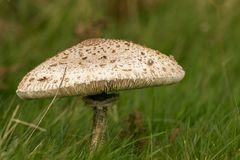Fungus Mushroom or toadstool. A very large mushroom growing in the grass Stock Image