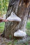 Fungus mushroom on trunk of poplar Stock Photos