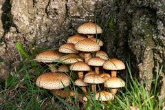 Fungus / Mushrooms. A field of fungus next to a tree Royalty Free Stock Photos