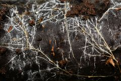 Closeup on mycelium hyphae on trunk. Fungus mycelium hyphae growing on a decaying trunk royalty free stock image