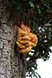 Fungus on oak tree Royalty Free Stock Photos