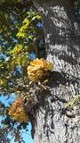 Fungus on oak tree Royalty Free Stock Photography