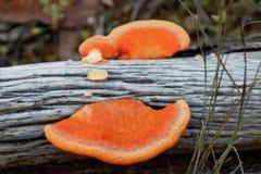 fungus orange Fotografering för Bildbyråer
